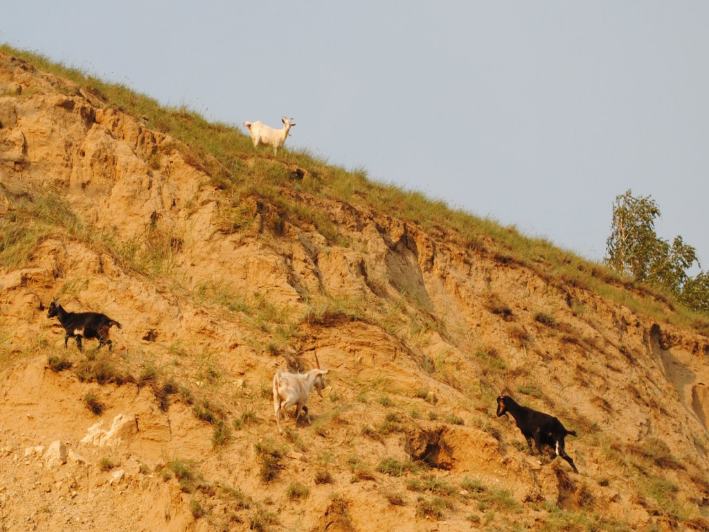 DSC_0373_goats